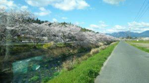 三重県の菰野町の桜